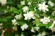Pompás jezsámen A valódi jázminhoz hasonlóan édes illatú lombhullató cserje, melynek hazája Olaszországtól a Kaukázusig terjed, és amely hazánkban is az egyik legrégebben és leggyakrabban ültetett faj. Herbs, Diy, Garden Ideas, Gardening, Plants, Bricolage, Lawn And Garden, Herb, Do It Yourself
