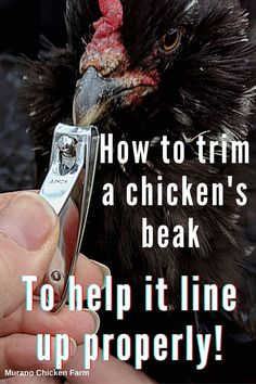 Cute Chickens, Raising Chickens, Chickens Backyard, Chicken Humor, Chicken Runs, Chicken Story, Dog Nail Clippers, Chicken Pictures, Guinea Fowl