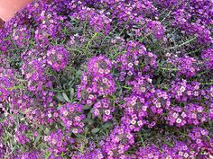 Maale Adumim, Israel - Gardens, 06 neighborhood (צמח השדה), sweet alyssum