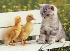 Cat with ducks