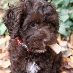 Wally the Cockapoo Pictures 939859