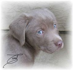 Silver Labrador Puppies With Blue Eyes