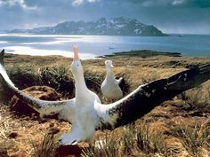 Meet the Wandering Albatross. One of the world's largest flying birds, with a wingspan up to 11.5 feet.