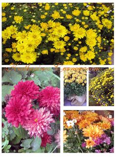 Chrysanthemum , Autumns flower