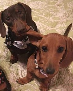 """168 Likes, 1 Comments - Dachshunds Are Awesome (@dachshunds_are_aww) on Instagram: """"Busted with the ear in the mouth, lol! . . #dachshundsofinstagram #dachshunds #dachshundsunited…"""""""