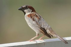 Muitas espécies de aves, como o pardal-doméstico, são criadas comoanimais de estimação.