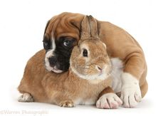 Every boxer needs some bunny to love!