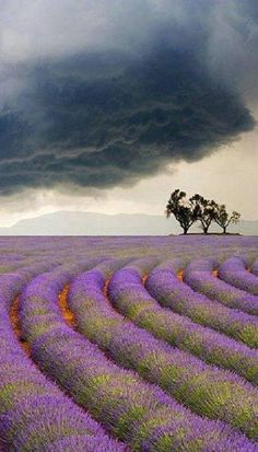 Lavender fields under a stormy sky. #Provence.