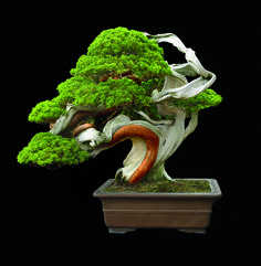 Sargents juniper, this 250-year-old tree in Japanese Tokoname ware, have finely textured dark foliage, very dense wood, and are easily cultivated. Photo Jonathan Singer