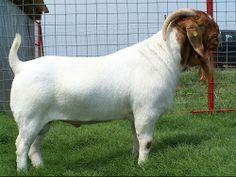 Alive Boer Goats For Sale - Male / Female Cabras Boer, Goats For Sale, Show Goats, Boer Goats, Livestock, Farming, Mammals, Sheep, Cow