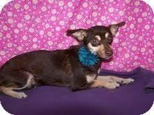 Columbia, TN - Chihuahua. Meet Little Bit, a dog for adoption. http://www.adoptapet.com/pet/8647471-columbia-tennessee-chihuahua