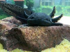 Melanoid axolotl I need one! Rare Animals, Animals And Pets, Axolotl Care, Amstaff Puppy, Pretty Animals, Paludarium, Animal 2, Ocean Creatures, Reptiles And Amphibians