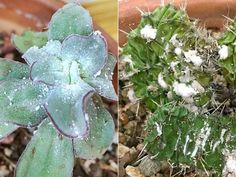 How to Control Mealy Bugs on Your Succulents: When it comes to succulents, mealy bugs are one of the most common pests... #kalanchoe #succulentopedia #succulents #CactiAndSucculents #WorldOfSucculents #SucculentLove #succulent #SucculentPlant #SucculentPlants #succulentmania #SucculentLover #SucculentObsession #SucculentCollection #plant #plants #SucculentGarden #garden #desertplants #nature #SucculentCare #GrowingSucculents #gardening #GardeningTips