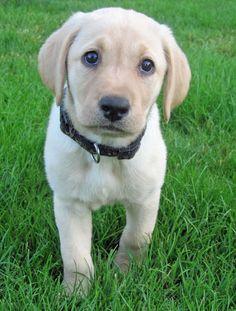 Penny the Labrador Retriever