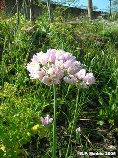Aglio roseo- Aglium roseum L.  Famiglia Liliaceae  Nome comune  Aglio roseo    Nome sardo  Alludecarroga(Iglesiente – Fluminese – Campidano).    Fioritura: aprile-giugno