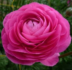 Hot Pink Ranunculus flowers are known for their multi-petaled blooms. Fresh hot pink ranunculus flowers are an economical choice as DIY flowers. Fresh Flowers, Pink Flowers, Beautiful Flowers, Pink Roses, Tea Roses, Exotic Flowers, Pink Peonies, Yellow Roses, Ranunculus Flowers