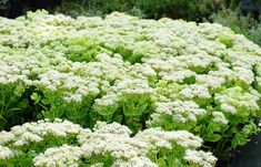 Sedum Spectabile Plant - STARDUST - Showy Stonecrop - Winter Hardy - 4 Cuttings
