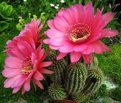 Echinopsis Hybrid Pink Cactus