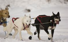 North Canada: Yukon Quest dog-sled race    http://www.telegraph.co.uk/sponsored/travel/canada-winter-sports/8799572/North-Canada-Yukon-Quest-dog-sled-race.html