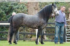 Connemara - stallion Teach Mor King