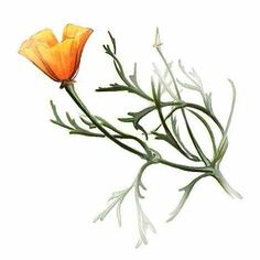 """California Poppy"" by Don Barnett. Great Tattoos, Small Tattoos, Poppy Tattoo Small, California Poppy Tattoo, Poppies Tattoo, Botanical Illustration, Garden Art, Watercolor Art, Body Art"