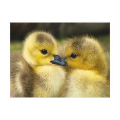 Ducklings are so famous for their cuteness. it's wonderful to see mother ducks along with ducklings in a stream or river. there are several species of Cute Ducklings, Raising Ducks, Baby Ducks, Photo Chat, Tier Fotos, Cute Little Animals, Animals Of The World, Beautiful Birds, Pet Birds