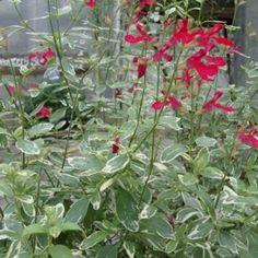 Salvia greggii 'Sparkler