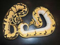 Super orange dream fire yellow belly (left) super dream bee fire yellow belly (right) ozzy boods llc Pretty Snakes, Beautiful Snakes, Cute Reptiles, Reptiles And Amphibians, Ball Python Morphs, Pet Snake, Exotic Pets, Lizards, Orange