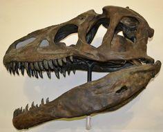 Allosaurus_fragilis_skull,_Paläontologisches_Museum_München.JPG (2530×2050) - Provient de la Formation Morrison, Utah, USA. Dinosauria, Saurischia, Theropoda, Carnosauria, Allosauridae, Allosaurinae. Auteur : High Contrast, 2011.