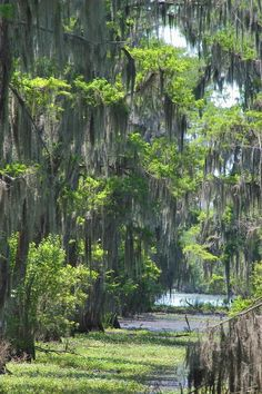 Cypress swamp of Bayou Segnette. New Orleans  ...