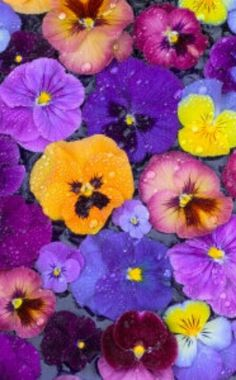 Pansy can't wait to see them at the garden center....starting some from seed this year xxxo