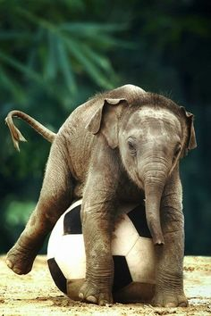 It's rare when a soccer ball and a baby elephant collide but we must say it has some very adorable results