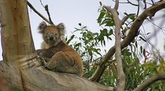 Newsela | Scientists say they know why koalas spend so much time in trees
