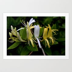 honeysuckle Art Print by Cindy Munroe Photography - $15.60