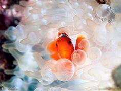 Clown Fish in Anemone - NatGeo