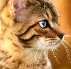 Things you should know about Bengal Cats! Click the picture to read