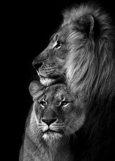Lion Pictures, Animal Pictures, Pictures Of Love, Couple Pictures, Art Pictures, Beautiful Pictures, Beautiful Cats, Animals Beautiful, Animals And Pets