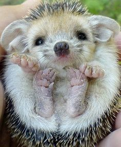 Just want to cuddle (yeah, that's right!) this baby hedgehog