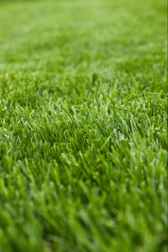 Cool Season Grass Identifiers - Difference Between Warm And Cool Season Grasses Best Grass For Shade, Grass Seed For Shade, Best Grass Seed, Types Of Grass, Grass Type, Shade Tolerant Grass, Grass Clipart, How To Kill Grass, Fescue Grass