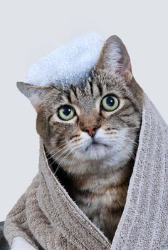 Many cat owners wince when they are faced with the prospect of bathing their cat. Past experience...