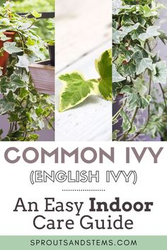 How to Care for and Propagate Ivy Indoors