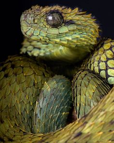Les Reptiles, Cute Reptiles, Reptiles And Amphibians, Cool Snakes, Colorful Snakes, Animals Of The World, Animals And Pets, Cute Animals, African Bush Viper