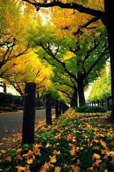 Autumn In Tokyo Ginkgo Tree At Meiji Jingu Gaien Indahnya Negara  Musim Itu Punya Musim Gugur Yang Keren
