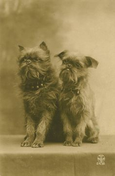 1919 French postcard of two Brussels Griffons.