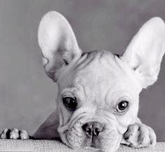 French Bulldog Puppy Perfection❤