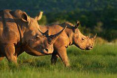 Rhinos by Rudi Hulshof.