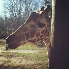 Giraffe friends.
