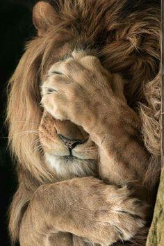 Leão envergonhado?