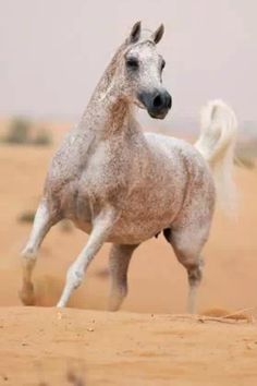 Fleabitten Grey Arabian in desert home