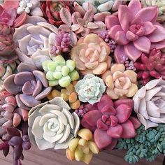 "Large rosette shaped Echeveria types in their 6"" round plastic containers. Great for Events as centerpieces and table decor, or enjoy at home! These succulents are big, we can also sell them as rosett"